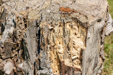 Wood Texture Of Rotten Tree Trunk, Close-up, Texture, Background