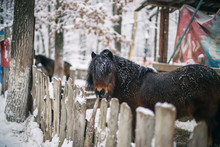 Portrait Of A Pony In The Snow