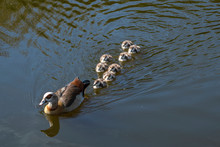 Egyptian Goose With Chicks Swi...