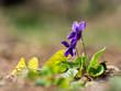Wood violet (viola odorata) bloomoing in the spring