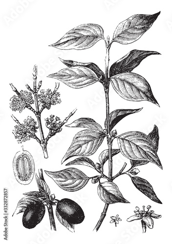 Fotografia, Obraz Cornelian cherry (Cornus mas) / vintage illustration from Brockhaus Konversation