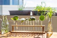 Home Window Leaf Propagation Of African Violets In Water Lab Test Tubes Bracket Holder