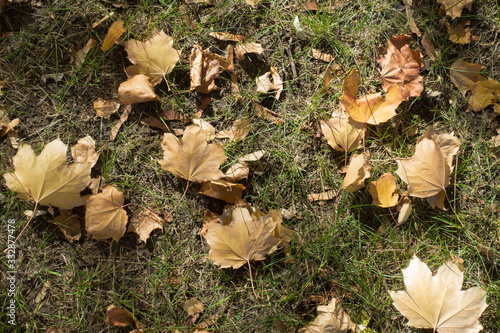 Light brown fallen leaves of maple covering the grass in October Wallpaper Mural