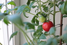 A Red Tomato Is Grown On A Windowsill As A House Plant. Vegetable Garden On The Balcony.