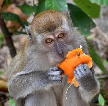 Close Up Of A Macaque Monkey E...