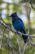 Close up of a blue Steller's jay (Cyanocitta stelleri), also called long-crested jay, mountain jay or pine jayon a branch