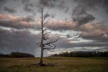 Lonely Dead Tree In An Open Fi...