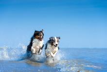Eine Gruppe Von Zwei Australian Shepherds Springen Voller Lebensfreude Durch Das Blaue Wasser