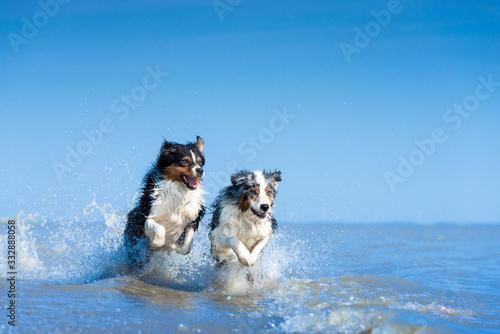 Obraz na plátně Eine Gruppe von zwei Australian Shepherds springen voller Lebensfreude durch das