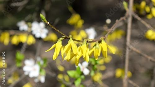 Yellow spring flowers on a bush. Forsythia flowers Canvas Print