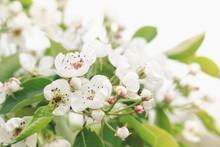 Beautiful Pear Tree Branch Wit...