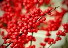 Rowan Red Berries