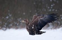 White - Tailed Eagle (Haliaeet...