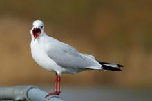 Black Backed Gull Screaming Fo...