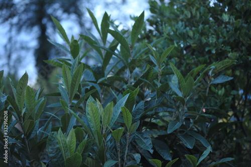 Fotografie, Obraz eryobotria japonica