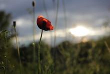 Beautiful Single Wild Red Popp...
