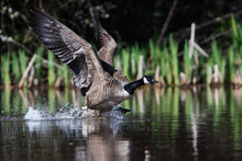 Canada Goose In Habitat. His Latin Name Is Branta Canadensis.