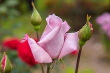 Rosebud In The Garden. Macro