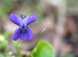 close up macro single beatiful blooming violet flower ,Viola odorata or wood violet, sweet violet with green leaves, selective focus