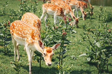 Group Of Young Fallow Deer Eat...