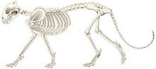 Leopard Skeleton On White Back...
