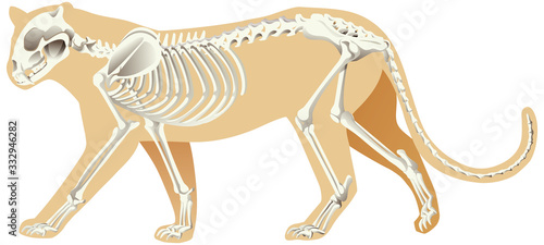 Skeleton of leopard on white background Fototapet