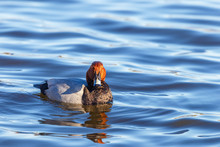 Pochard Duck Looking Into The ...