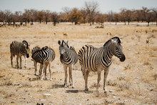 Small Group Of Zebra In The De...