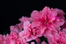 Blooming Wet Azalea On A Black Background, Close Up. Drops Of Water On Azaleas