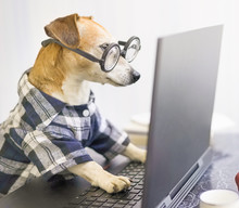 Freelancer At Work Remotely From Home At The Computer Online. Funny Smart Dog Using Laptop. Wearing Blue Clothes And Nerd Glasses. Attentive Concentrated Work. Quarantine Social Distancing Lifestyle.