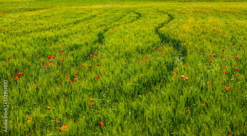 Fototapeta Rote Mohnblumen in einem Grünem Feld obraz
