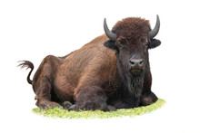Bison Lying On The Grass In Summer Isolated On A White Background.