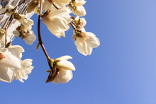 White Magnolia Flowers With A ...
