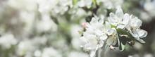 Blooming White Apple Tree Bran...