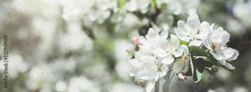 Fototapeta Blooming white apple tree branches in spring obraz
