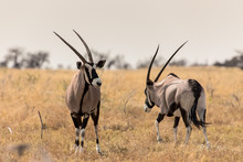 Oryx In The Savannah In The He...