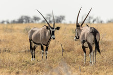 Oryx In The Savannah In The Heart Of Etosha National Park, Namibia