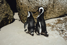 Pinguine - Boulders Beach - S...