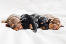 1 Week Old Dachshund Puppies