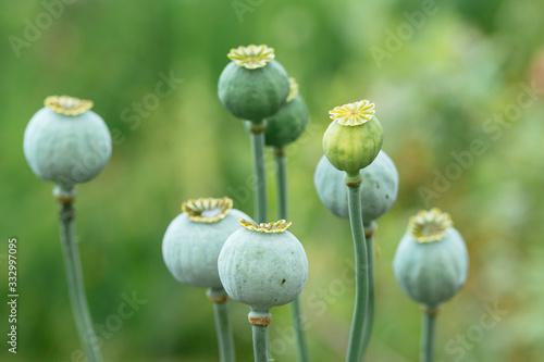 Poppy seed pods - 332997095
