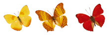Set Of Beautiful Yellow, Red And Orange Butterflies. Cymothoe Excelsa Isolated On White Background. Butterfly Nymphalidae And Butterfly Phoebis Philea With Spread Wings And In Flight.