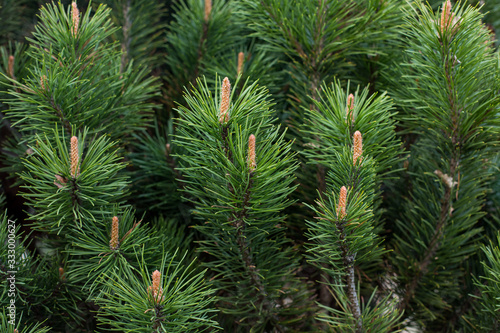 Photo close-up of a branch of coniferous shrub