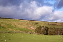 Barn And Grazing Sheep. Wensleydale, Yorkshire, UK.