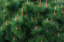 A Branch Of Coniferous Shrub.m...