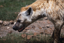 Hyena In Tanzania National Park.