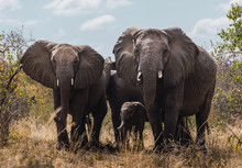 Family Of African Elephants, T...