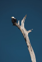 Isolated Bald Eagle On Top Of A Tree.