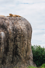 Group Of Lions Lying On A Cliff In The Serengeti , Tanzania, Africa.