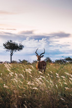 Young Male Impala Grazing In T...