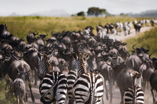 Zebras And Wildebeests During The Big Migration In Serengeti Nat